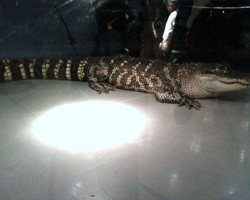 Huge Gator.JPG