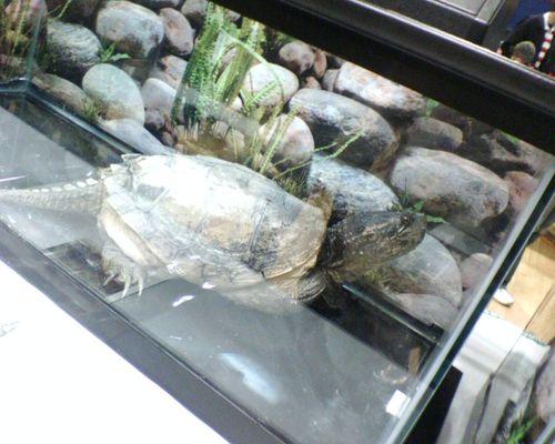Huge Turtle.JPG
